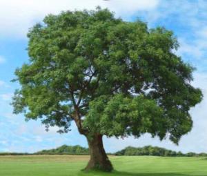 ホワイトアッシュの木